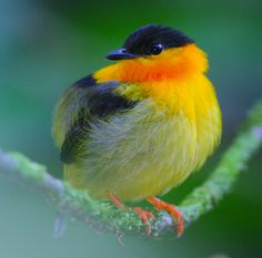 Orange Collared Manakin, endemic breeder resident in Costa Rica & western Panama / bird watching Kinds Of Birds, All Birds, Little Birds, Love Birds, Pretty Birds, Beautiful Birds, Animals Beautiful, Cute Animals, Exotic Birds