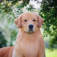 MBIS MRBIS MBISS AM GCH Forever's All Jacked Up RN CGC SDHF OS (7/17/2011-) Golden Retriever
