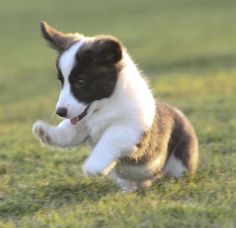 My Cardigan Welsh Corgi