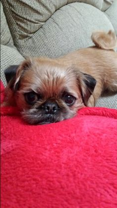 Maggie Pug Zu, Cute Baby Animals, Brussels, Cute Puppies, Cute Babies, Pets, Pet Dogs, Funny Babies, Animals And Pets