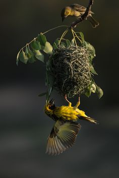 Time for inspection. Hanging from his near perfect creation, a male village weaver tries to convince a potential mate THIS is the nest and partner to choose this breeding season. Game Reserve, Bird Feeders, Wilderness, Nest, Birds, Safari, Pictures, Animals, Nest Box