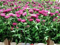 #Cirsium red; Available at www.barendsen.nl