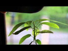 CODARIOCALYX MOTORIUS (plante qui danse) - YouTube