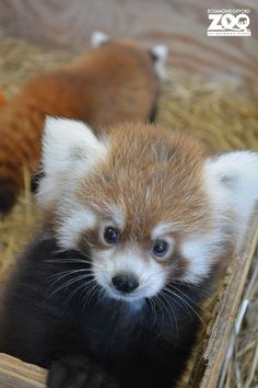 Two month old red panda siblings born in late June at the Rosamond Gifford Zoo in Syracuse, NY.