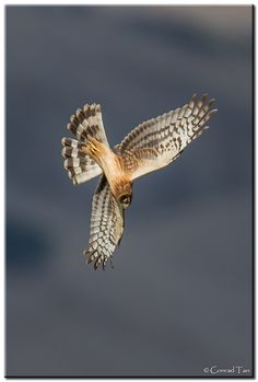 Northern Harrier Diving - Awesome !