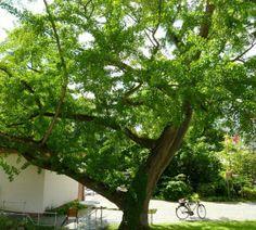 Ginkgo Baum am Petrihaus, Frankfurt Rödelheim