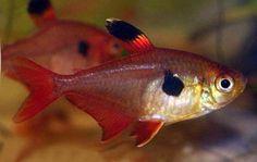 Peixes de água doce do Brasil - Mato-Grosso (Hyphessobrycon eques)