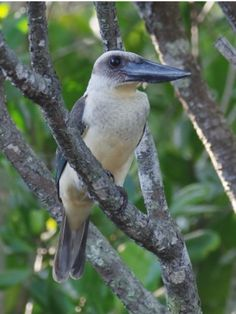 Great-billed Kingfisher: Sulawesi, ID | Birdtour Asia Facebook, (c) Mike Nelson-Birdtour Asia, surfbirds.com