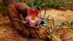 Exportschlager Teufelskralle.Die Afrikanische Teufelskralle ist ein beliebtes Mittel gegen Gelenkbeschwerden. Doch ihr Wirkstoff sitzt in der Wurzel und so besteht beim Sammeln eine besonders große Gefahr, die Pflanze zu zerstören. In einem Modellprojekt des WWF und des Bundesamts für Naturschutz (BfN) in Namibia wurde eine schonende Sammelmethode entwickelt: Nur die Seitenknollen der Wurzel werden entnommen, der Rest wieder eingegraben. So kann sich die Pflanze erholen und die Bestände…