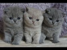 AmazingAisha*PL - British Shorthair Cattery - maluszki Carrerki - YouTube