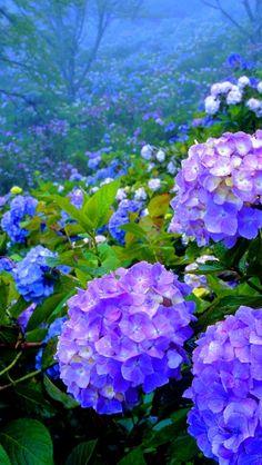 Hydrangeas in the mist Hortensia Hydrangea, Hydrangea Garden, Hydrangea Flower, Flowers Nature, Purple Flowers, Beautiful Flowers, Peonies And Hydrangeas, Blossom Garden, Small Backyard Landscaping