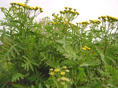 Common Tansy Plants.  A Prohibited Noxious Weed