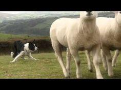 Beautiful - Border Collies in Training with handler Nij Vyas in England http://www.sheepdog-training.co.uk/