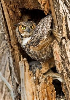Great Horned Owl 21 by Dawn Wilson on 500px