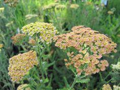 Achillea millefolium 'Hannelore Pahl' | lautrejardin – pépinière de plantes vivaces / au service de la plante vivace