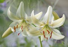 Lilium Asiatic Sweet Surrender - - Yahoo Image Search Results
