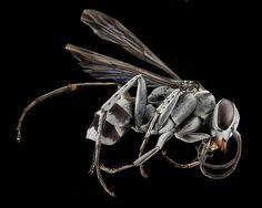 Spider Wasp, U, Side, CA, San Bernarndino Co_2013-07-31-19.44.08 ZS PMax