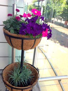Gardening- petunias oraio.