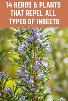 14 Herbs & Plants That Repel All Types Of Insects - - Now that summer is in full swing you may find yourself wanting to enjoy your outdoor spaces. Perhaps you like to swim, hike, garden, boat or just sit under a tree and read a book. Natural Mosquito Repellant, Mosquito Repelling Plants, Common Garden Plants, Garden Pests, Plants That Repel Bugs, Cool Plants, Organic Gardening, Gardening Tips, Outdoor Spaces