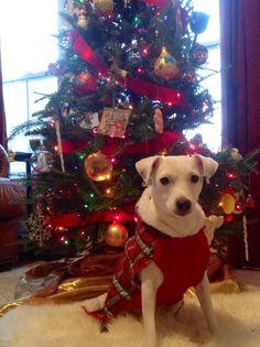 Jack Russell Christmas!