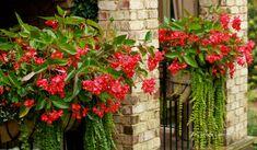 Dragon Wing Begonias - The Graceful Gardener
