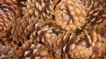 Feather Plucking, Feather Plucking Remedies, Feather Destructive Behavior, Pine Cones, Exotic Bird Food, Pinecones, Bird Toys, Feather Picking Solutions and Refeathering