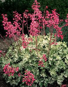 Heuchera Snow Angel Coral Bells The leaves are very beautiful with the snow white/green combo
