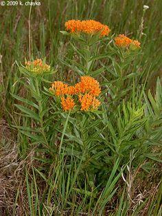 Asclepias tuberosa (Butterfly-weed): Minnesota Wildflowers