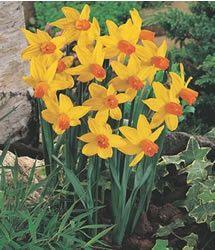 Daffodil cyclamineus 'Jetfire'