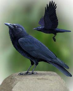 American Crow - Whatbird.com