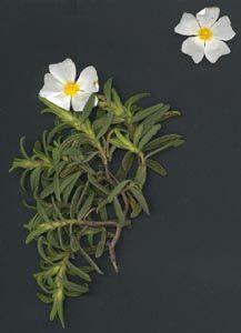 Estepa blanca cistus albidus l plantes silvestres balears pinterest - Mas l estepa agullana ...