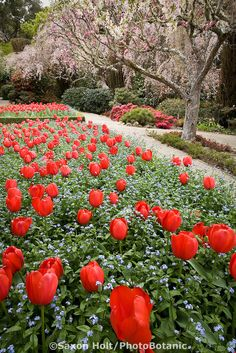 Red Darwin hybrid tulips (Tulipa 'Red Impression') in formal garden beds Filoli Garden in spring with annual companion planting of blue forget-me-nots, Myosotis 'Mountain Meadow'