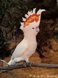This is a Pink Cockatoo (Cacatua leadbeateri) photo page of the Mangoverde World Bird Guide. Love Birds, Beautiful Birds, Amazon Birds, Pink Cockatoo, Australian Parrots, Bird Guides, World Birds, Tropical Birds, Exotic Birds
