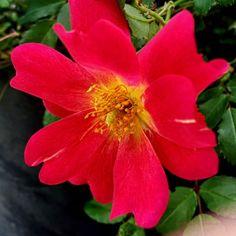 Carpet Rose stunner -