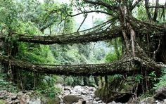 The living bridges of Cherrapunji, India are made from the roots of the Ficus elastica tree.
