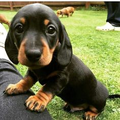 Black and tan dachshund puppy
