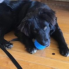 Pictures of ZACH a 1 yr. old Male Flat-Coated Retriever for adoption at Last Chance Animal Rescue, Southampton, NY who needs a loving home.