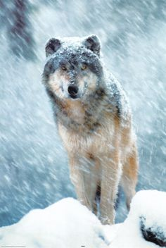 Im raising awareness if your reading this  would like you to be aware that wisconsin opened a hunting season on wolves and it is 6 months long....as you know in some states and countries they are endangered and under threat please like if your against the hunting of grey wolves and red wolves.