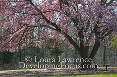 A pink Magnolia tree steals the show at Caledon State Park, Virginia.