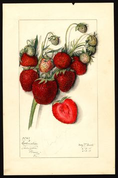 "Strawberries (1914) by Mary Daisy Arnold (circa 1873-1955).Image and text courtesy ""U.S. Department of Agriculture Pomological Watercolor Collection. Rare and Special Collections, National Agricultural Library, Beltsville, MD 20705"""