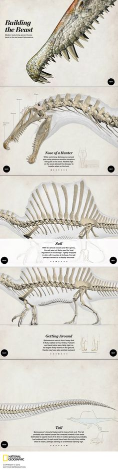 BUILDING THE BEAST --- In this interactive explore the anatomy of #Spinosaurus, the largest predatory dinosaur that existed. By Lawson Parker. Published October 2014.