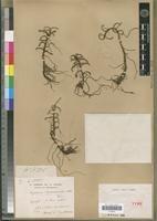 Angraecum rhizomaniacum