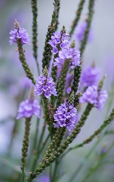 Blue Vervain (Verbena Hastata) occurs in every county of Illinois where it is fairly common and native. Exotic Flowers, Colorful Flowers, Purple Flowers, Wild Flowers, Beautiful Flowers, Bach Flowers, Chicago Botanic Garden, Language Of Flowers, Blue Garden