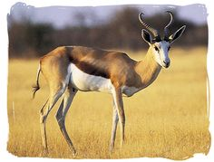 The Springbok antelope - South African National Symbols, National Symbols of South Africa South Africa Tours, Africa Painting, African Antelope, African Symbols, Save Wildlife, National Animal, National Symbols, Wolf Pictures, North And South America