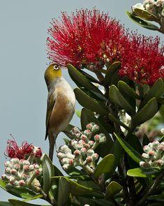 Pohutukawa, New Zealand Christmas Tree. New Zealand Tours, New Zealand Art, New Zealand Campervan, New Zealand Mountains, Wanaka New Zealand, Kiwiana, Hawaiian Flowers, Bird Pictures, Wild Birds