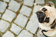 Simple Tips To Help You Understand Pet Pug - http://weloveourpugs.net/simple-tips-to-help-you-understand-pet-pug/