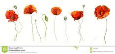 Poppy Flower Stock Photo - Image: 31672070