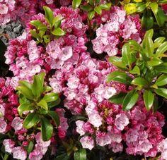 "Kalmia latifolia ""Little Linda"" Evergreen Shrubs, Flowering Shrubs, Rose Pale, Pale Pink, Kalmia Latifolia, Little Linda, Garden Landscaping, Red Roses, Bloom"