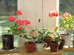 Pelargoner Pelargoniums (with flowers:) Little Lady Bicolor, Hulverstone, Lord Kybo, Chimes