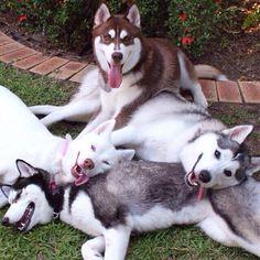 Wonderful All About The Siberian Husky Ideas. Prodigious All About The Siberian Husky Ideas. Love My Dog, Le Husky, Husky Puppy, Alaskan Husky, Cute Puppies, Cute Dogs, Dogs And Puppies, Huskies Puppies, Doggies